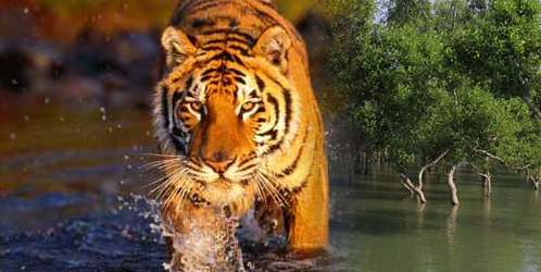 Sundarbans : Home of Royal Bengal Tiger